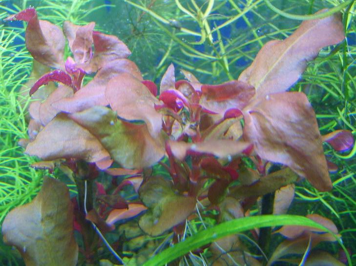Цветок с мохнатыми листьями вытянутой